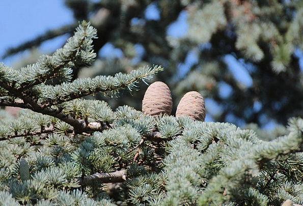 Tap Blow Larch Cones Pine Cones Conifer Larch Lari