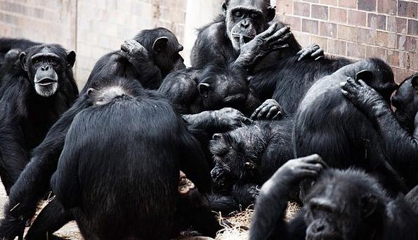 Animal Physical Black Dark Apes Primate Socializat