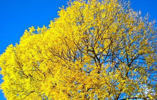 Tree Sapling Fall Yellow Creamy Autumn Blåhimmel