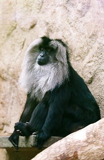 Animal Physical Chimpanzee Black Dark Ape Primate