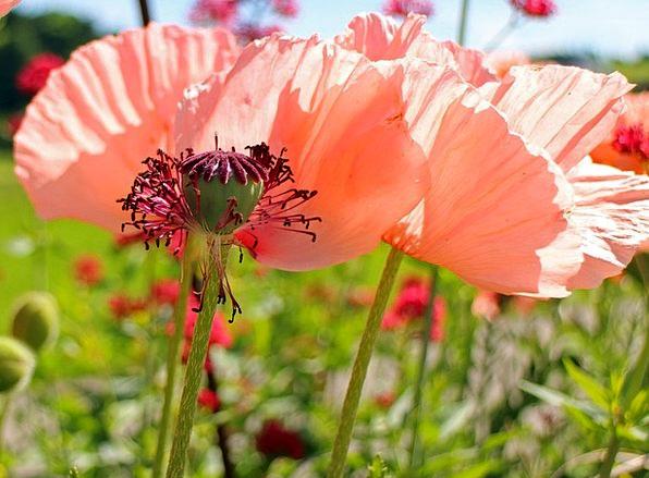 Boll Kernels Poppy Seeds Pink Flushed Mohngewaechs