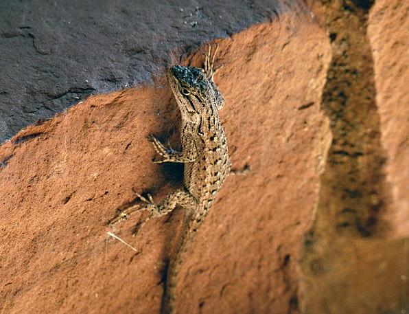 Desert Iguana Animal Physical Lizard Scale Gauge R