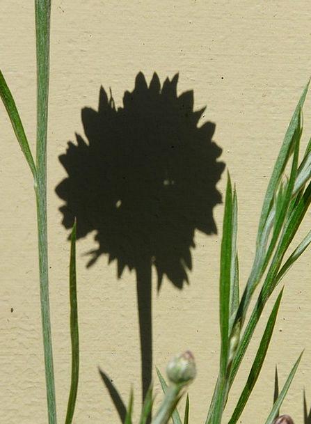 Cornflower Shadow Gumshoe Hispanic Asteraceae Flow