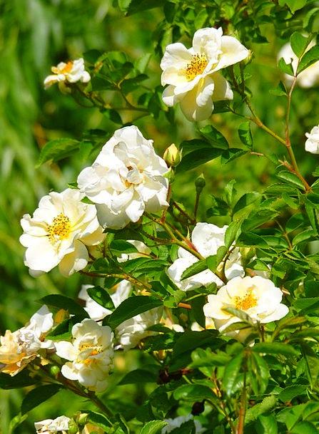 Wild Rose Design Rose Bloom Rose Flower Floret Fra