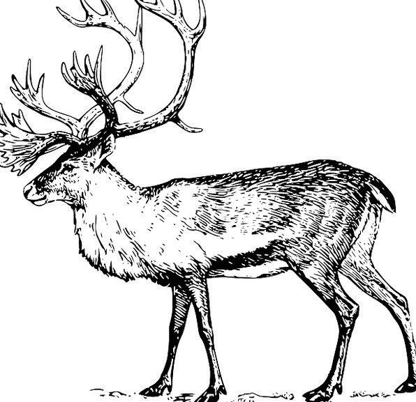 Large Big Animal Physical Walking Antlers Horns Ca