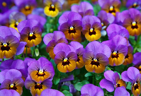 Pansy Textures Contextual Backgrounds Bloom Backgr