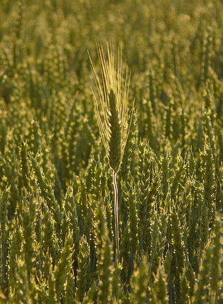 Nourishing Barley Drink Auricle Food Nourishing Ba