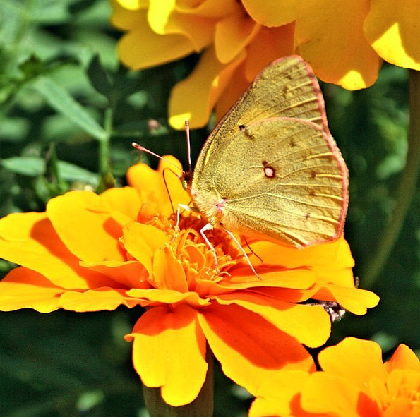 Butterfly Bug Grass Yellow Insect Flower Species Class Wings