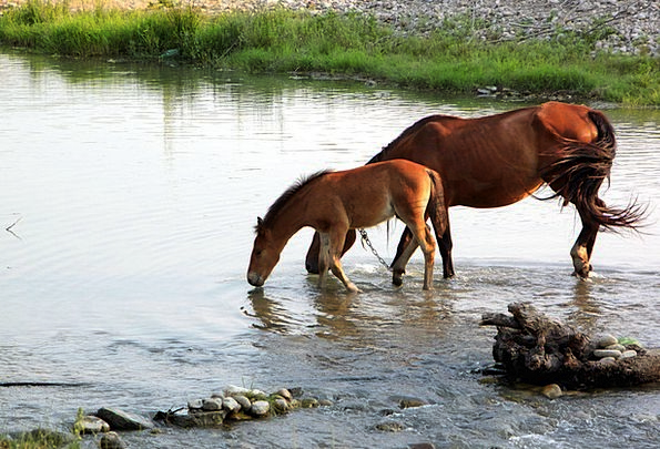 Horses Cattle Drink Beverage Food Water Aquatic Dr