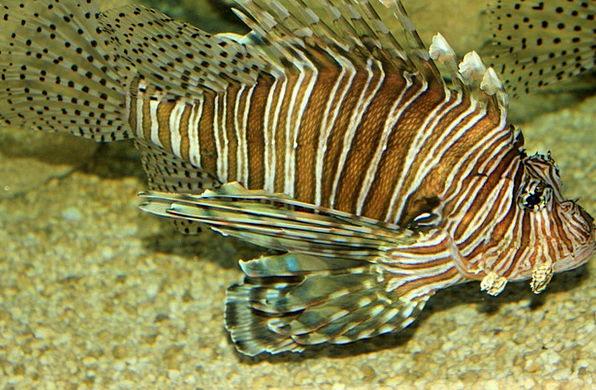 Lionfish Angle Poisonous Toxic Fish Aquatic Sea Li