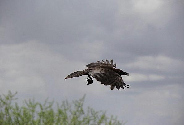 Crow Caw Scoff Bird Fowl Raven Flock Sky Blue Flig