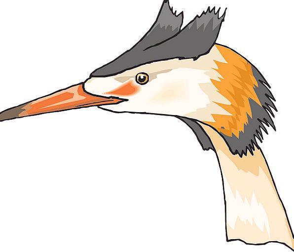 Head Skull Judgment Bird Fowl Eye Crested Grebe Be