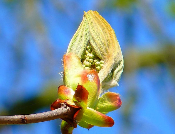 Bud Sprout Landscapes Anecdote Nature Chestnut Bud