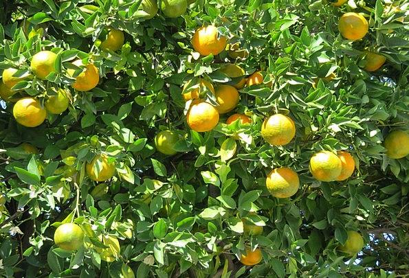 Tangerine Drink Food Tree Sapling Citric Fruit Ova
