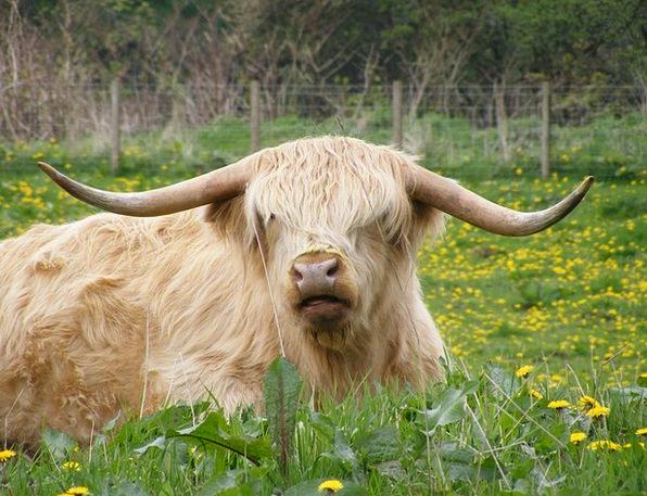Highland Upland Intimidate Scotland Cow Resting Ca