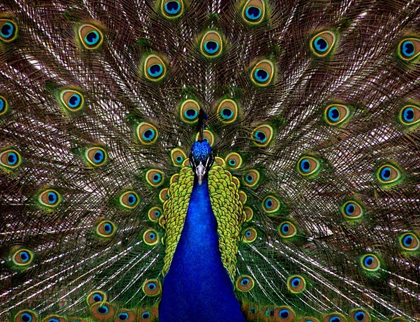 Peacock Showoff Fowl Plumage Down Bird Display Sho
