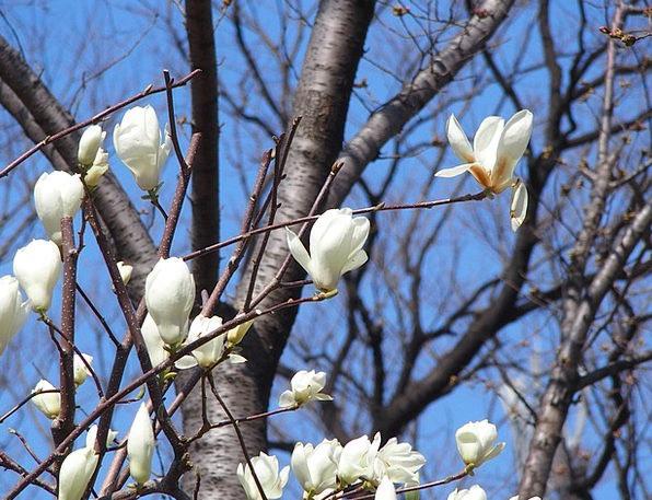 Magnolia Floret Tree Sapling Flower