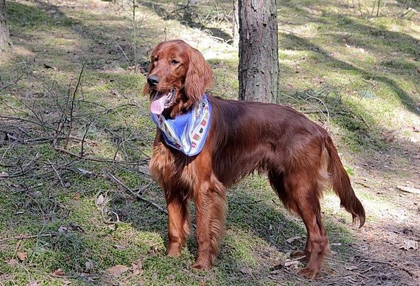 Dog Canine Physical Setter Animal