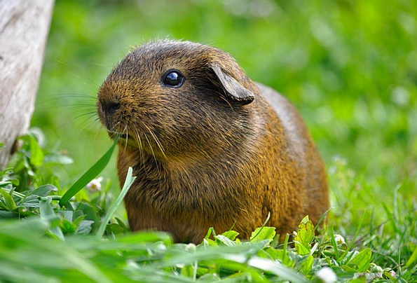 Guinea Pig Physical Rodent Animal Smooth Hair Gras