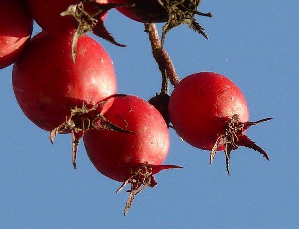 Berries Ovaries Red Bloodshot Fruits Crataegus Cru