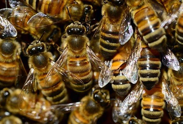 Honey Darling Buckfast Bee Macro Insect Bug Brood