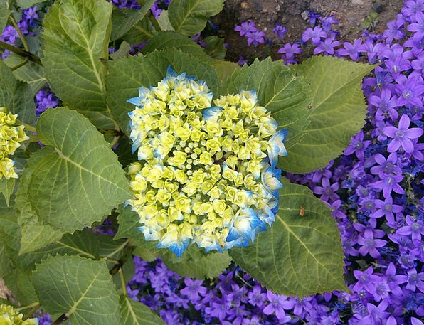 Hydrangea Azure Flower Floret Blue Greenhouse Hydr