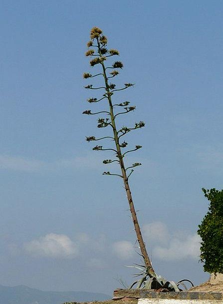 Agave Landscapes Vegetable Nature Flower Floret Pl