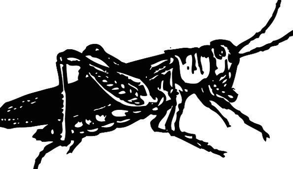 Grasshopper Dark Bugs Germs Black Katydid Animal P