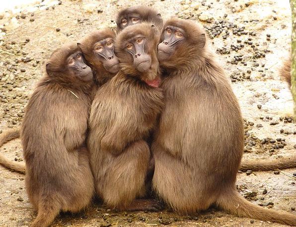 Baboons Monkeys Ape Mammal Creature Monkey Freeze