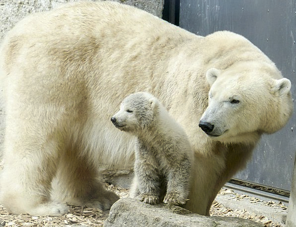 Polar Bear Feminine Cub Novice Female Endangered A