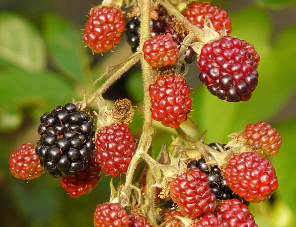 Blackberries Fruits Ovaries Berries Immature Young