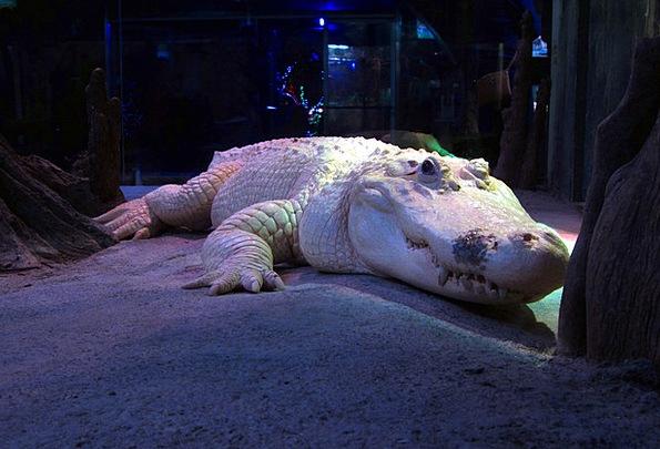 White Alligator Crocodile Line Albino Dangerous Zo
