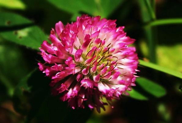 Clover Flushed Flower Floret Pink Blossom Summer B