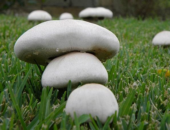 Mushrooms Burgeons Fall Fungus Mushroom Autumn Cal