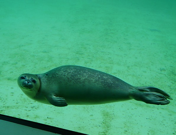 Seal Closure Robbe Phoca Vitulina Aquarium Seal St