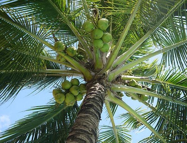 Coconut Drink Food Tree Sapling Cocos Nucifera Nut