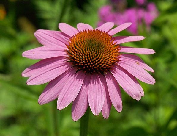 Echinacea Flushed Flower Floret Pink Flowering Pet