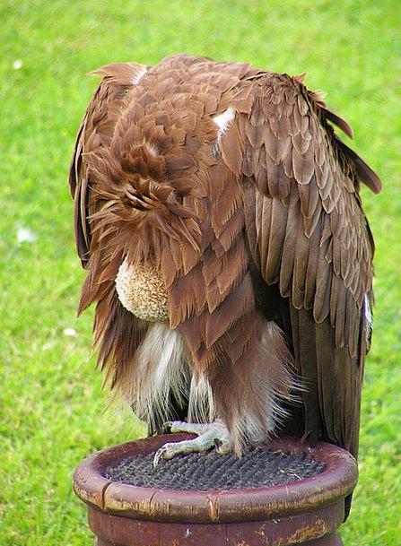 Sup Mouthful Scavenger Forager Breeding Raptors Cl
