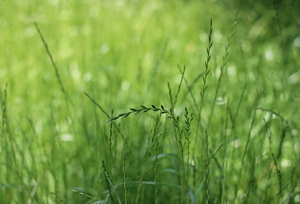 Grass Lawn Lime Wheat Green
