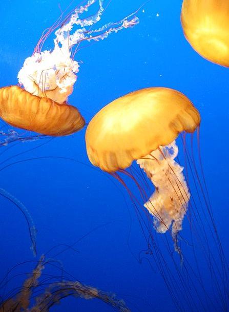 Jellyfish Maritime Sea Marine Exotic Underwater Su