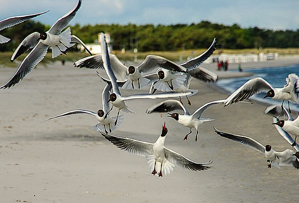 Black Headed Gulls Vacation Travel Waterfowl Duck
