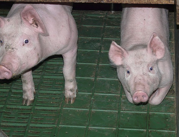 Piglet Glutton Young New Pig Breeding Sweet Sugary
