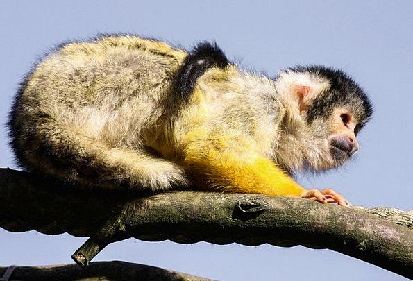 Capuchin Physical Monkey Ape Animal Cute Attractiv