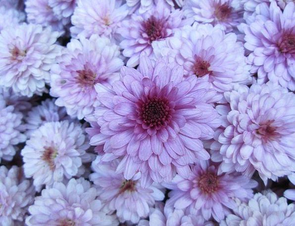 Chrysanthemum Plot Flower Floret Garden Cluster Bu