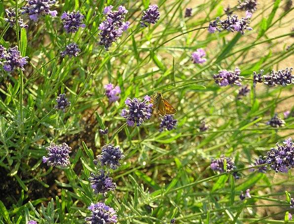 Lavender Violet Landscapes Basils Nature Plant Veg
