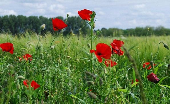 Field Poppy Papaver Rhoeas Red Poppy Flower Floret