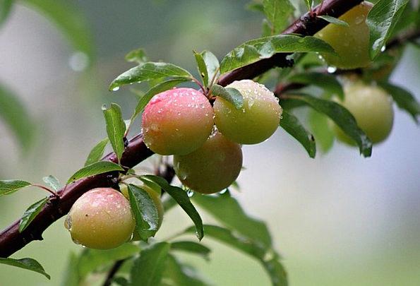 Wild Rough Rewards Plum Desirable Plums Tree Sapli
