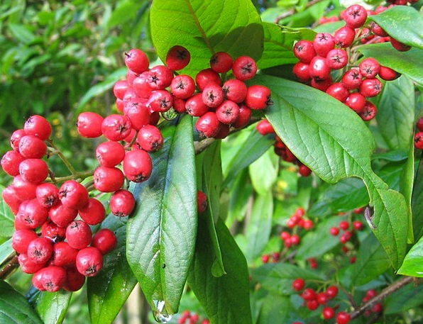 Rowan Tree Landscapes Nature Red Bloodshot Berries