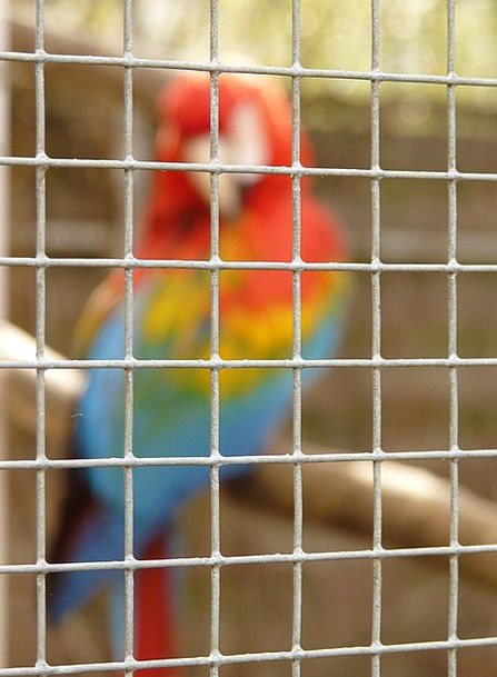 Grid Network Confined Parrot Imitator Imprisoned P