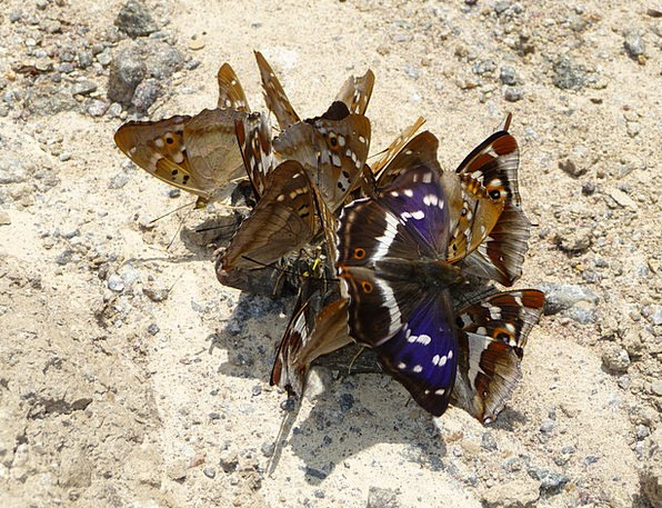 Purple Emperor Nerves Lesser Purple Emperor Butter